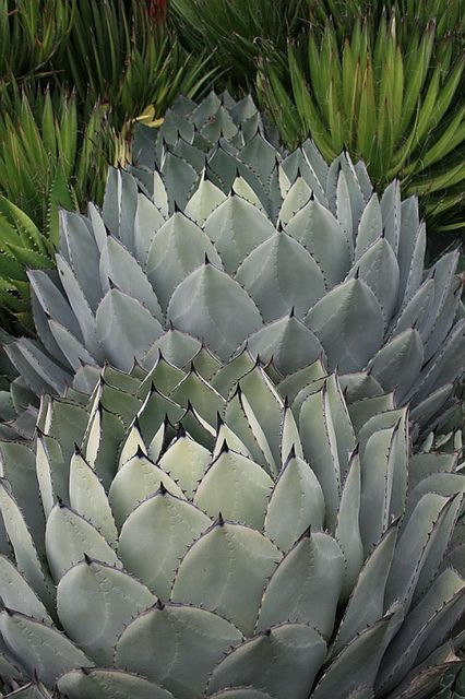 A feast for the eyes - barsanworld:   Agave parryi v.huacharensis by...