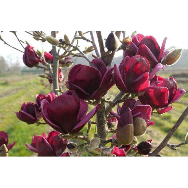Magnolia Genie 50 - 60 cm