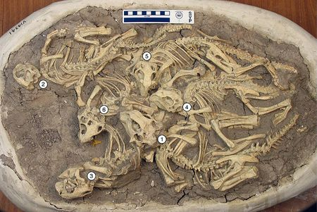 Nid de dinosaures Psittacosaurus fossilisés.