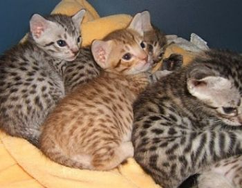 Ocicat kittens. I want one so bad.