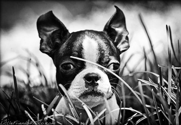 Baby Boston Terrier Puppy photo by Seth Casteel. Posted on http://www.bterrier.com/baby-boston-terrier-puppy-photos-by-seth-casteel/
