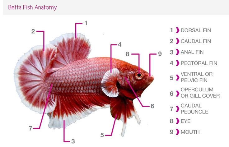92 best images about zoology 5th grade 2013 2014 on pinterest for Betta fish care sheet