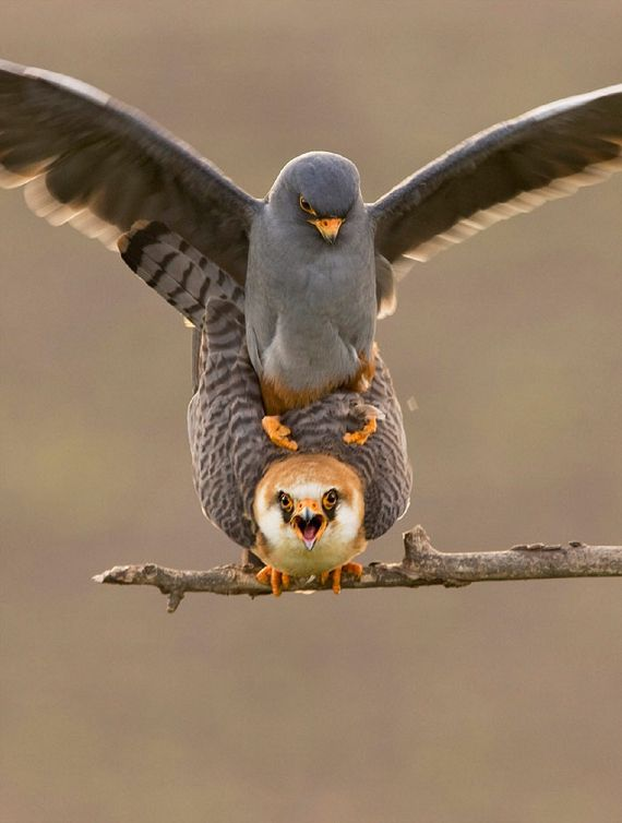 """characteristics of the peregrine falcon a bird from the falconiformes group Photo by phil swanson falco peregrinus l 16-20″(41-51 cm) w 36-44″(91-112 cm) song or calls: generally quiet, shrill """"kek-kek-kek"""" given around nest."""