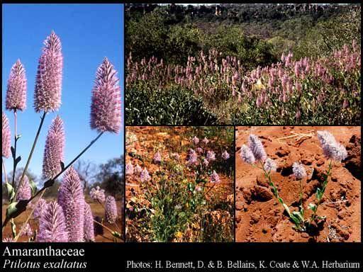 Amaranthaceae - Pilotus exaltatus