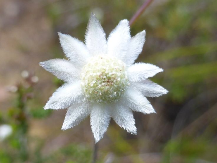 The small flannel flower, Actinotus minor, is about 7 mm across. Look to see why it has the name flannel flower!
