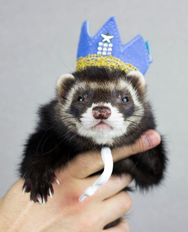 Lord Of The Fur Noodles Ferret Crown Pet Ferret Cute Ferrets Ferret