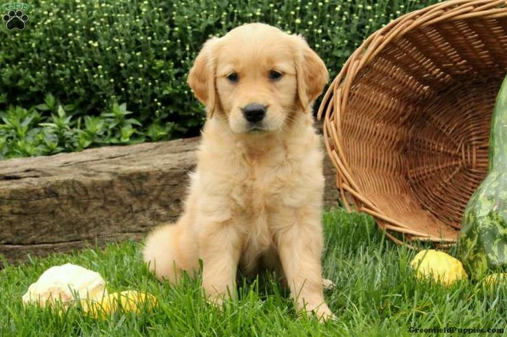 Camille, Golden Retriever Puppy
