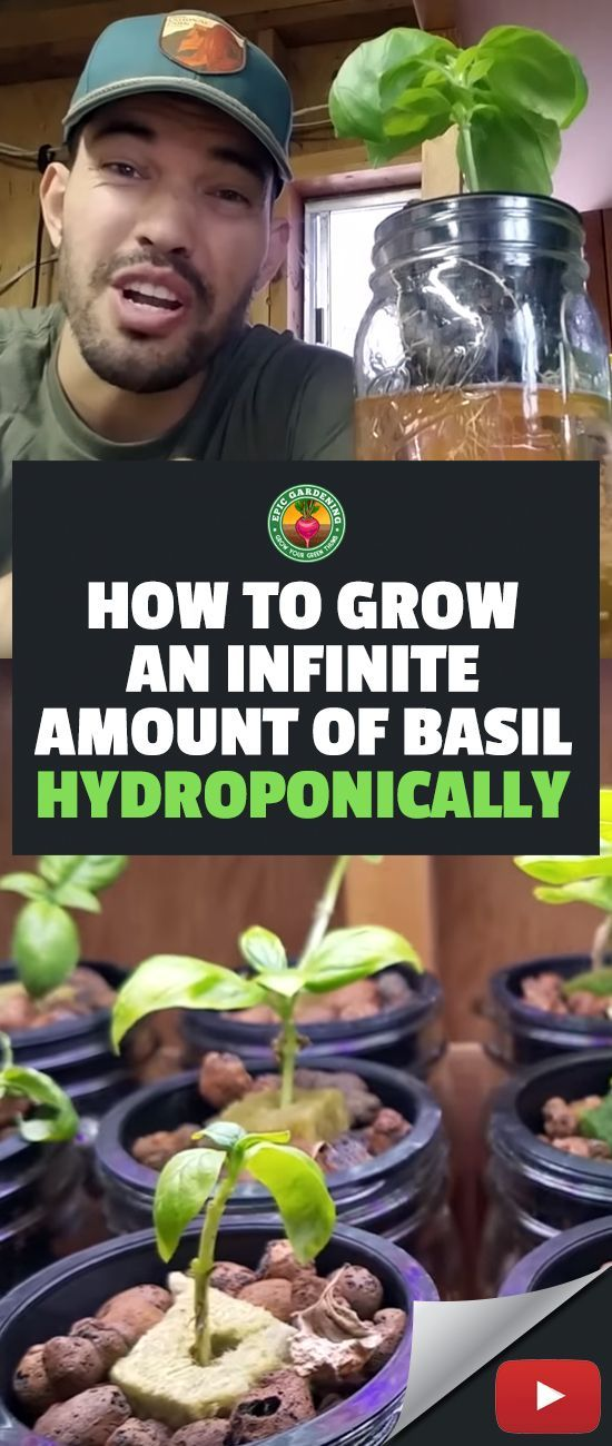 This is a fun one for you all. If you use a LOT of basil in the kitchen like I do, using the method I outline in this video is an easy way to harvest basil forever and ever off of ONE initial mother plant! #gardening #hydroponics #basil