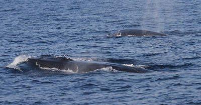 Tras la entrada en vigor de una nueva ley en Francia para proteger a los cetáceos del impacto del tráfico marítimo, WWF recuerda que cada año mueren hasta cuarenta ejemplares de rorcual común, la segunda ballena más grande del planeta, como consecuencia d