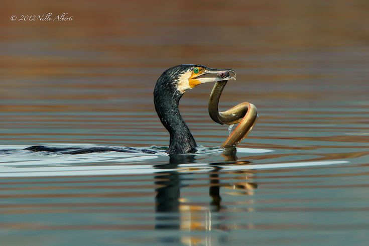 Cormorant with prey...