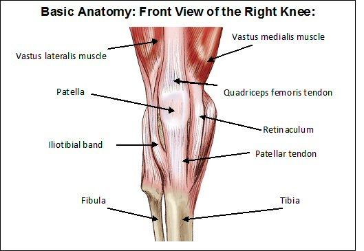 508484614157886975 on muscles of knee the human anatomy