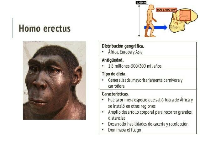 Homo erectuses unhomínidoextinto, que vivió entre 1,9 millones de años y 70000 años antes del presente, LosHomo erectusclásicos habitaron enAsiaoriental (China,Indonesia). EnÁfricase han hallado restos de fósiles afines que con frecuencia se incluyen en otra especie,Homo ergaster; también enEuropa, diversos restos fósiles han sido clasificados comoHomo erectus, aunque la tendencia actual es la de reservar el nombreHomo erectuspara los fósiles asiáticos.