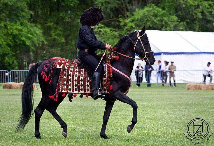 árgyélus-akhal-teke-stallion.jpg 734×500 pixels
