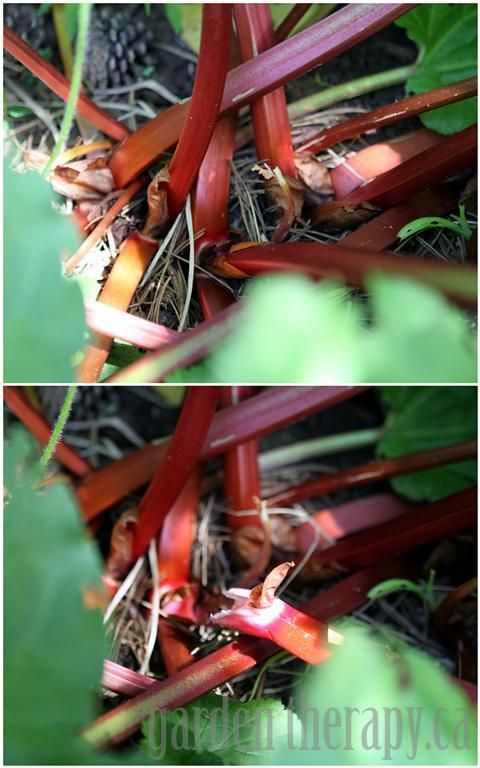 Instructions on how to harvest #rhubarb : twist and pull/don't cut, timing, storing.