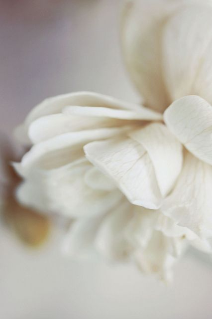 White rose.: Dreamy White, Shades Of White, Rose Gardens, White Flowers, Rose Flowers, White Rose, Colors Rose, Beautiful Flowers, Photo