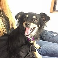 Rancho Santa Margarita, California - Chihuahua. Meet Dottie, a for adoption. https://www.adoptapet.com/pet/20677017-rancho-santa-margarita-california-chihuahua-mix