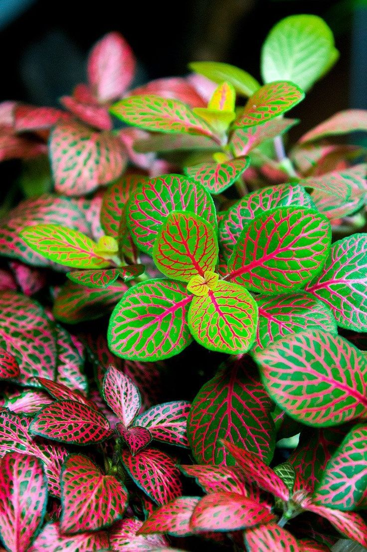 Adding Tropical Colors Onia Nerve Plant How To Grow Care For