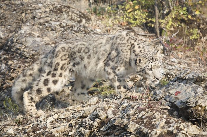 #Camouflage #snow #leopard #ounce | Animal Camouflage ...