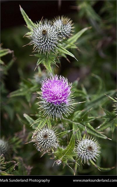Scottish Thistle near Dunnottar Castle Stonehaven, Aberdeenshire, Scotland