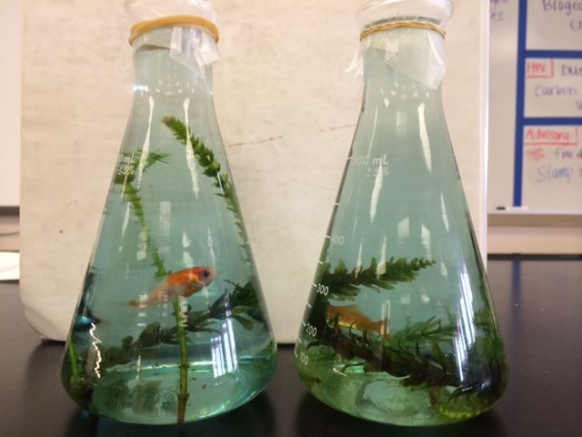Cellular respiration and photosynthesis lab for high school