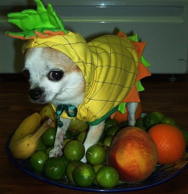 Chihuahua Still Life | The 57 Greatest Pet Costumes EVER