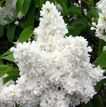 195 best fantastic flowering shrubs images on pinterest flowering madame lemoine lilac high wide a vigorous dwarf shrub with fragrant white flowers canadale nurseries ltd mightylinksfo