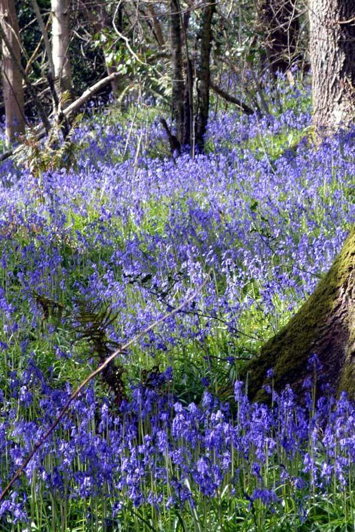 Bluebell season in Holyford Woods | South East Devon | England