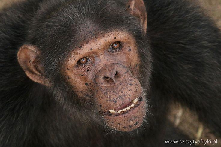 Gabon - Szympans w Lekedi Park || www.szczytyafryki.pl || #Gabon #Szympans #Lekedi