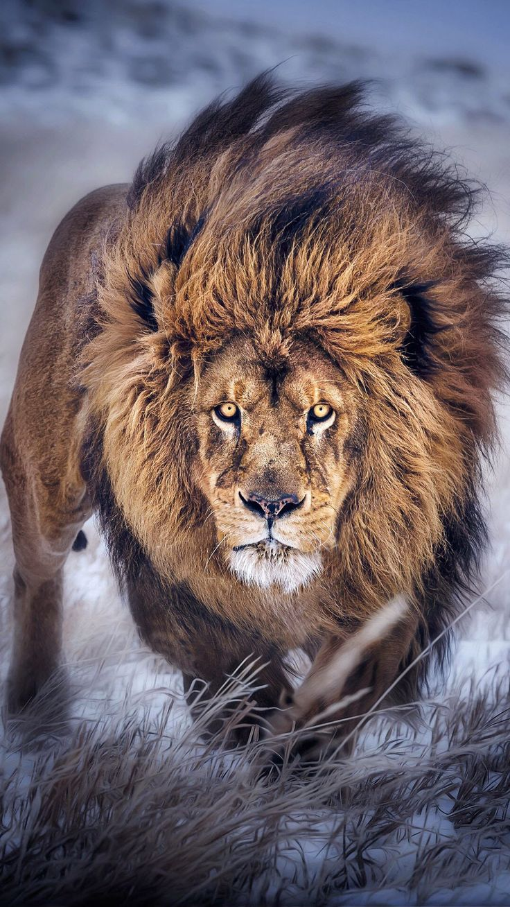 Wind in his mane, focused and Ready To Pounce 2 by Joe VanEpps*