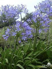Agapanthe bleue (agapanthus umbellatus) H80cm