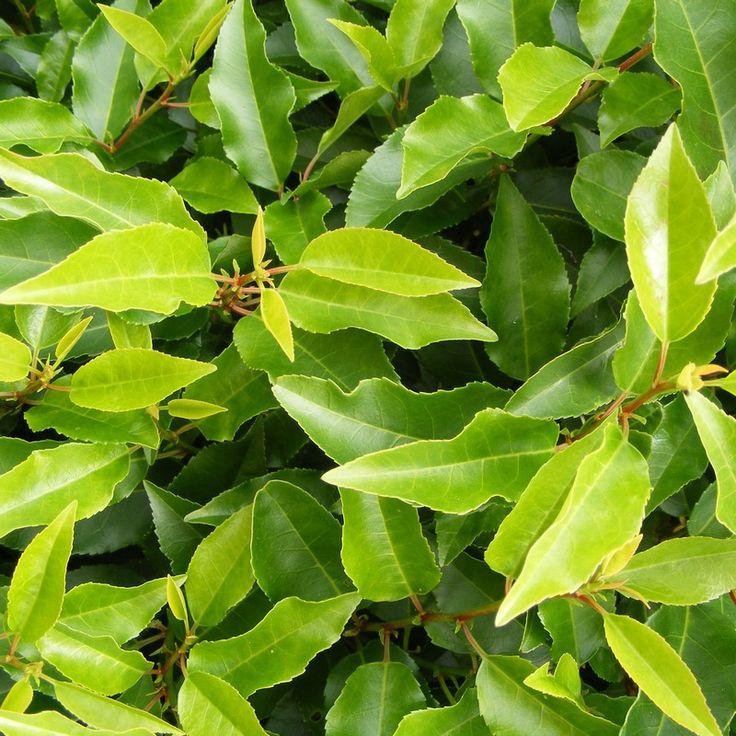 Laurier du Portugal - Prunus lusitanica Angustifolia