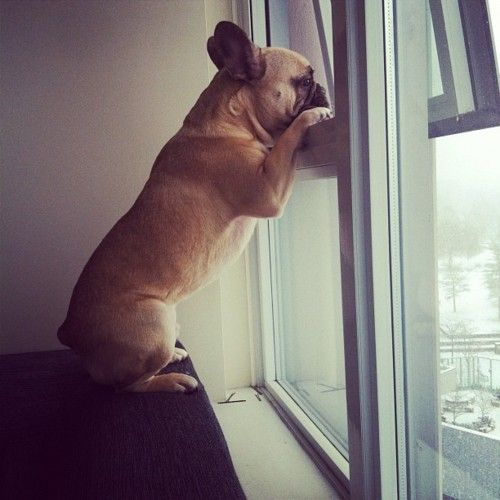 xo: Back Home, French Bulldogs, Cutest Dogs, Window, Coming Home, Go Outside, French Bull Dogs, Watches Dogs, Animal