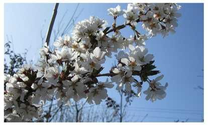 image for Weeping Yoshino Cherry Tree-  Prunus Yeodensis Shidare Yoshino Plant