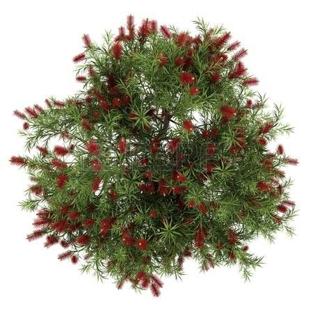 top tree: top view of bottlebrush tree isolated on white background