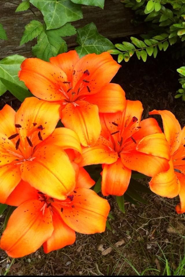 68 Best Tiger Lilies Images On Pinterest Pretty Flowers