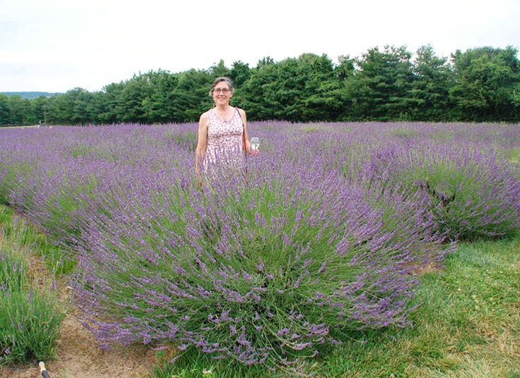 We can grow many great plants in the South, but up until now traditional lavender hasn't been one of them. It didn't like our soil and climate and would collapse and die in a heartbeat. But now the...