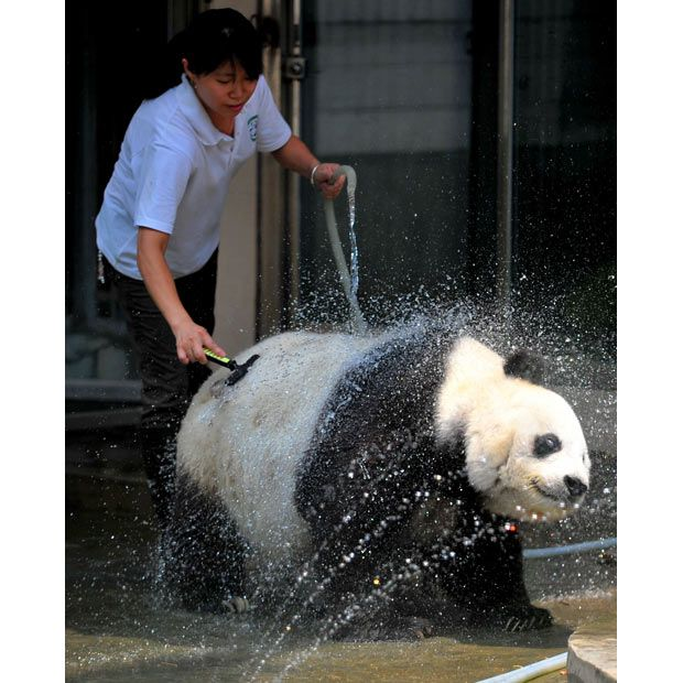 A keeper gives giant panda Ba Si a cool shower during a heatwave at the Giant Panda Research Centre in Fuzhou, Fujian Province