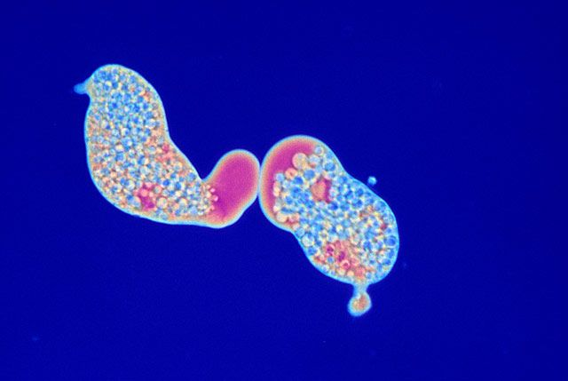 Entamoeba histolytica in axenic culture | 1986 Photomicrography Competition | Nikon's Small World