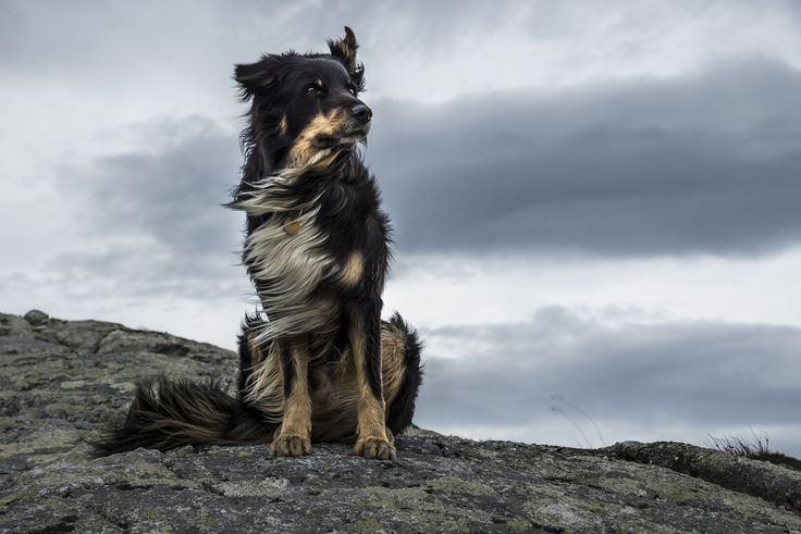 The Majestic Dog - So every year me and my dog go for walks in the vast mountains and wildlands in the middle of Norway. And as always my dog was happy to pose for another picture!