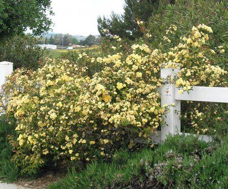 62 best lady banks roses images on Pinterest Scenery Arizona