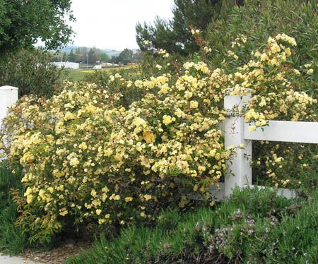 Yellow Rose Bushes for Sale | lady banks roses | How To Prune Rose Bushes Trimming