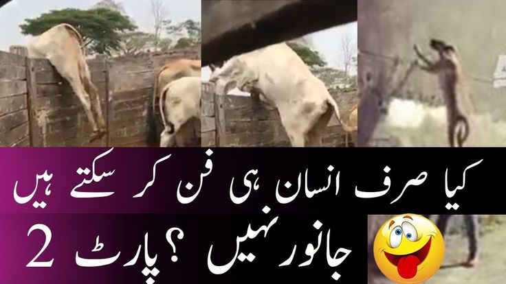 animals are funny part2 , pakistani funny clips, pakistan funny videos 2...