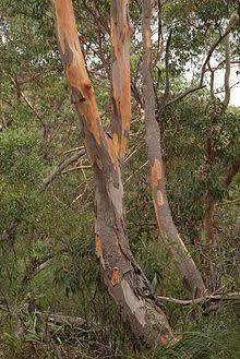 Image result for eucalyptus punctata
