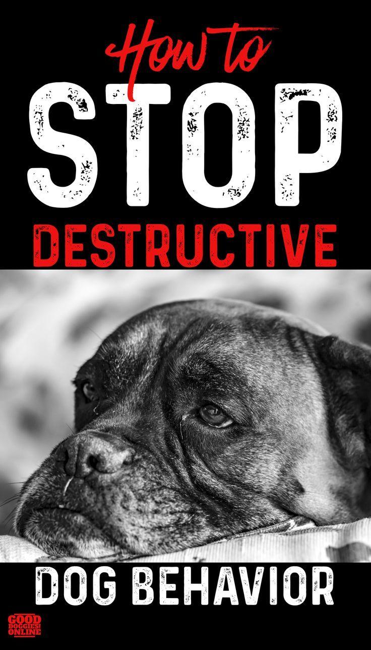 How To Stop Destructive Dog Behavior Dog Behavior Dog Training Basic Dog Training