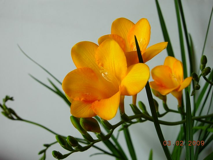 Freesia flower pictures