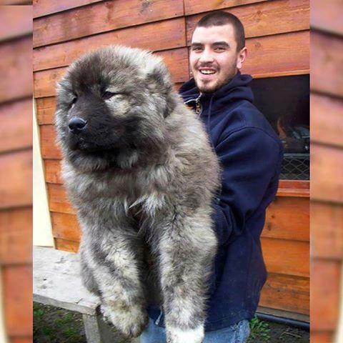 cachorro de pastor caucásico...