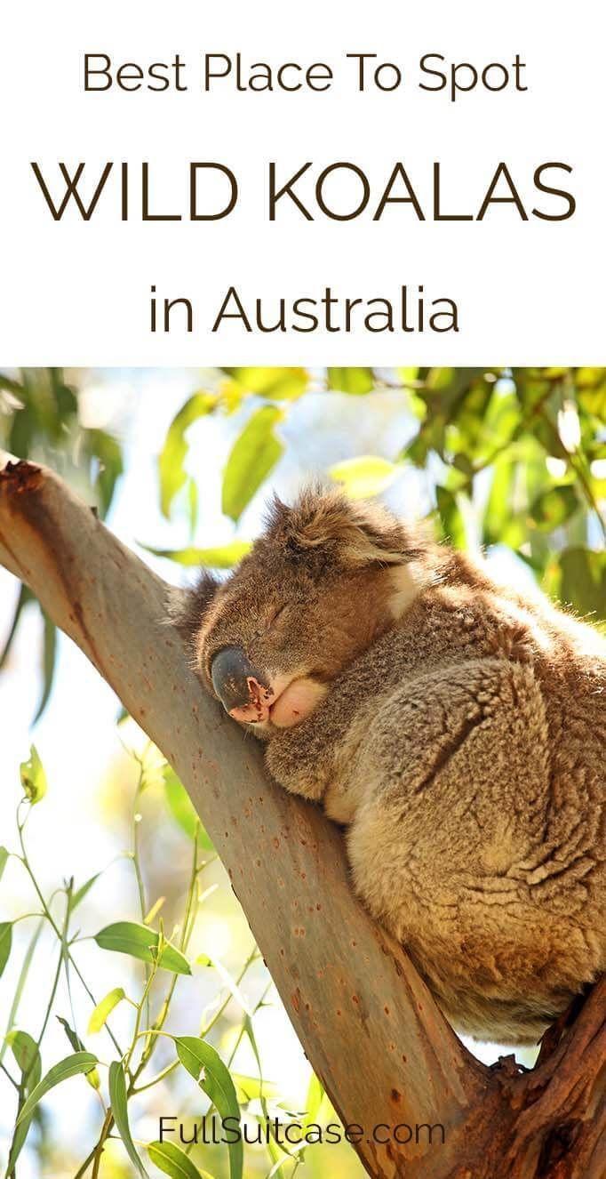 Kennett River Koala Walk Best Place To Spot Wild Koalas In Australia Oceania Travel Australia Travel Australia