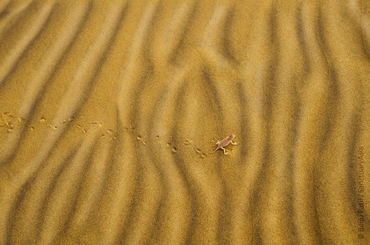 Toad-headed agama lizard - Thar Desert, Rajasthan. Image: Baiju Patil/Sanctuary Awards 2011.