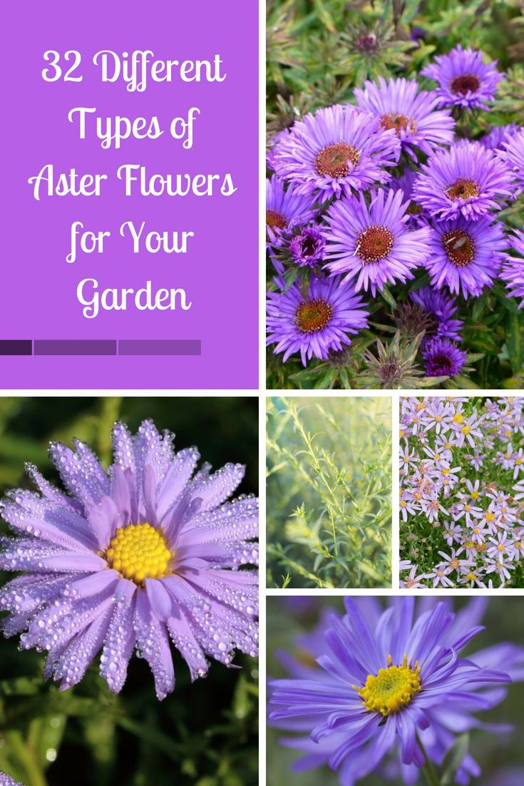 32 Different Types Of Aster Flowers For Your Garden Aster Flower Different Types Of Flowers Flowers