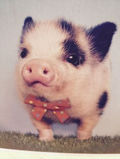 A sweet little spotted piggy in a bow tie.